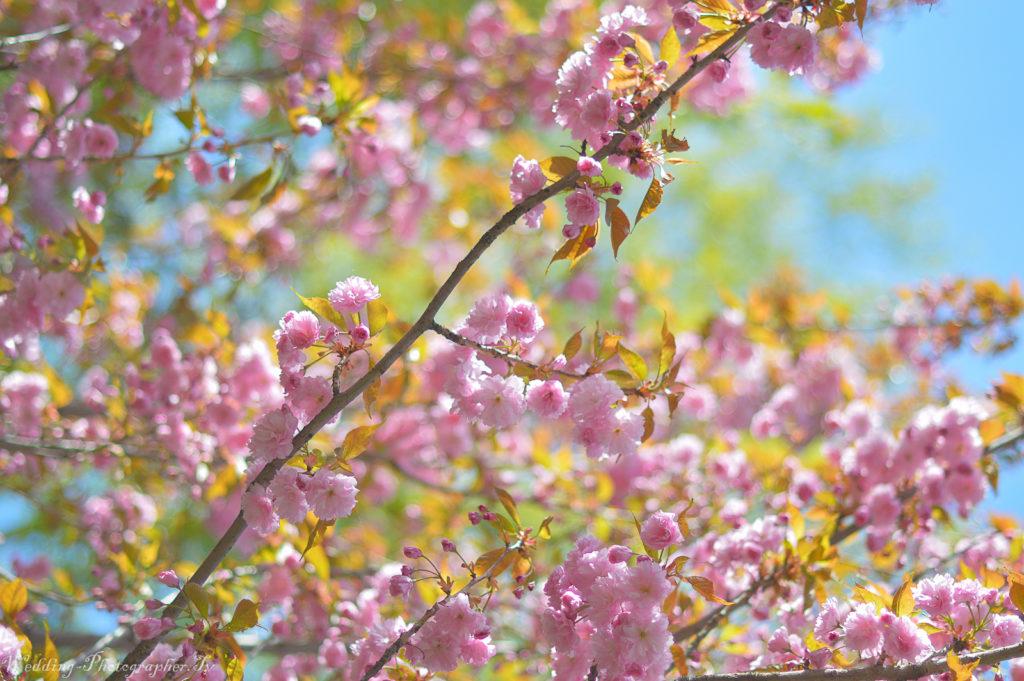 Весенние фото. Сакура